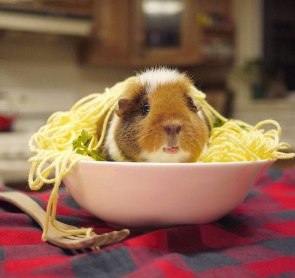 Морская свинка в тарелке с макаронами