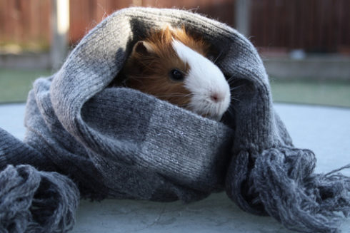 Морская свинка закутана в шарф