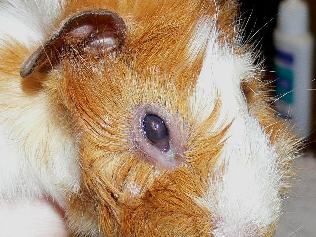 Опухшие глаза у морской свинки