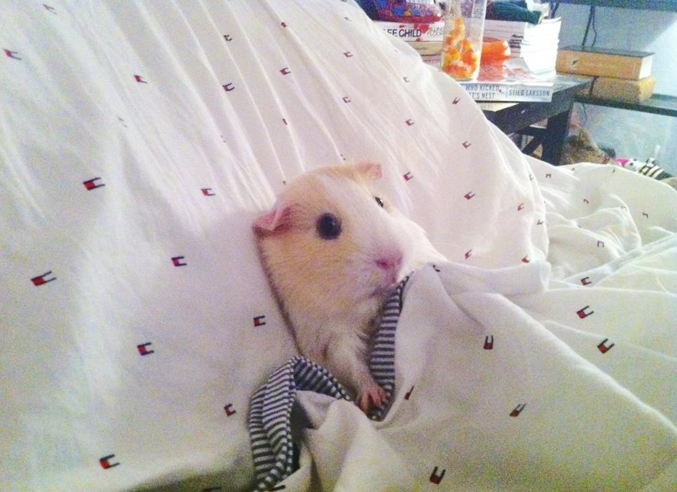 Морская свинка в постели