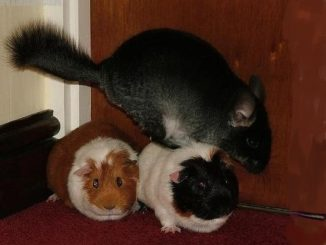 Шиншилла и 2 свинки