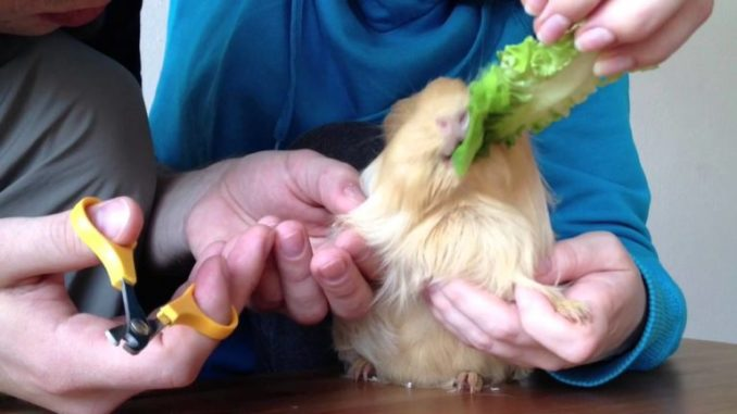 Морской свинке дают салат во время стрижки когтей