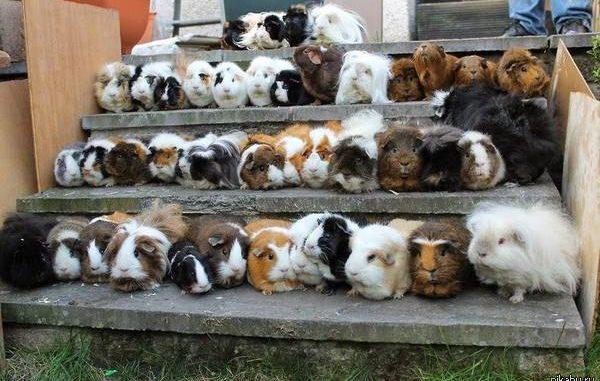 Морские свинки на ступенях