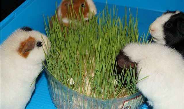 Морские свинки едят зелень