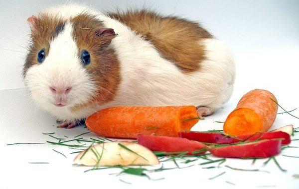 Морская свинка и морковь