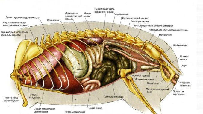 Анатомия морской свинки