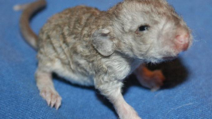 Малыш крысы рекс
