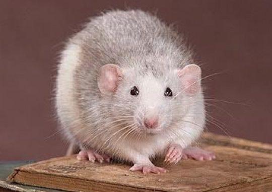 Крыса хаски-дамбо