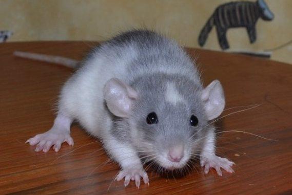 Крысенок хаски