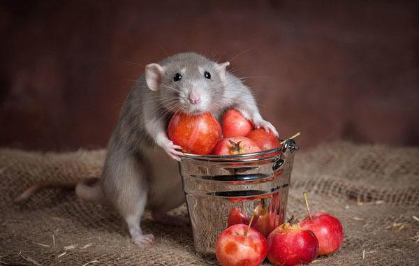 Хаски обнимает стакан с ягодами