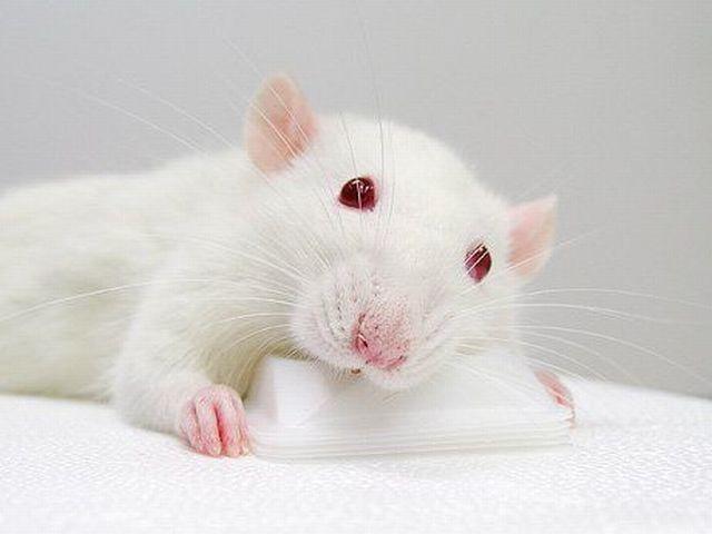 вот фото белого мышонка с красными глазами представлено