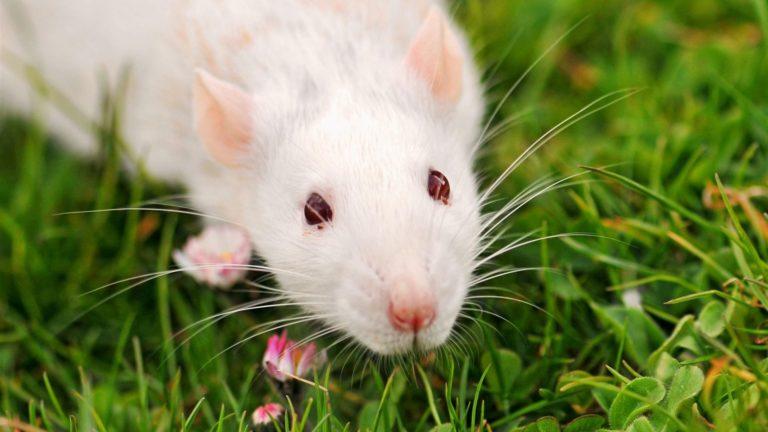 Белая крыса на траве