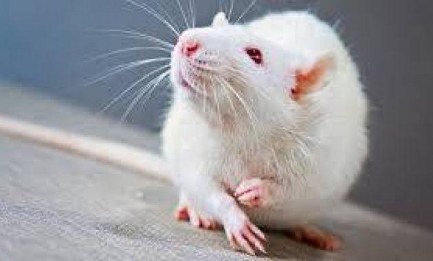 Крыса смотрит вверх