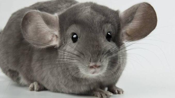 Шиншиллка с большими ушами