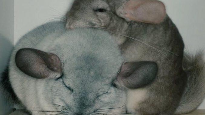 Пара спящих шиншилл