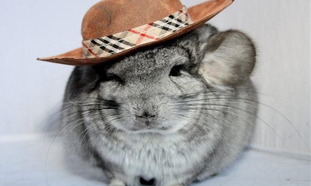 Шиншилла в шляпе