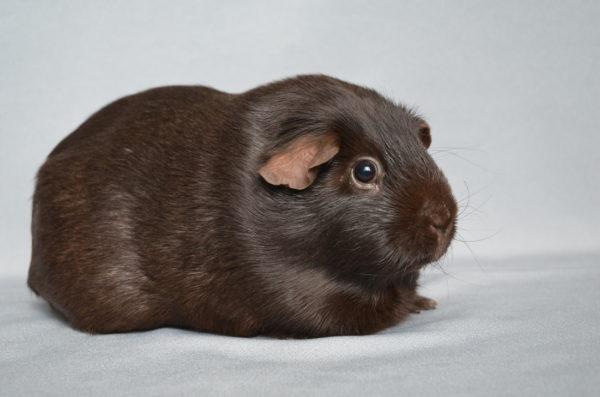 Морская свинка породы Селф окрас шоколадный