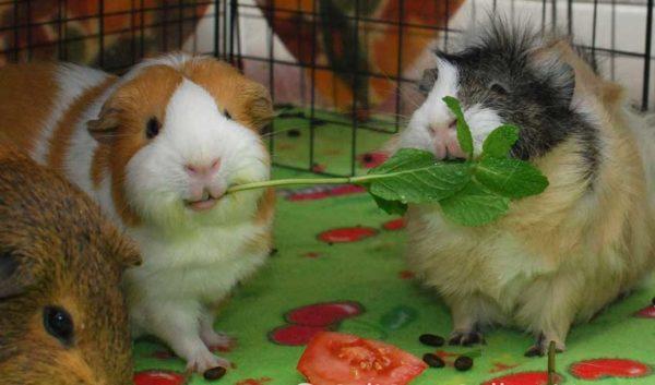 Морские свинки едят травку
