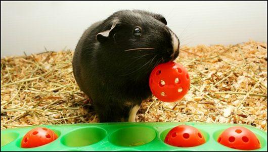 Морская свинка играет с игрушками