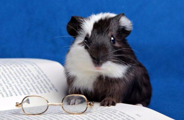 Морская свинка за книгой