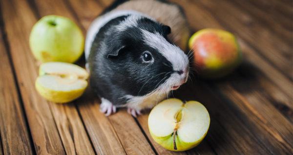 Морская свинка и яблоки