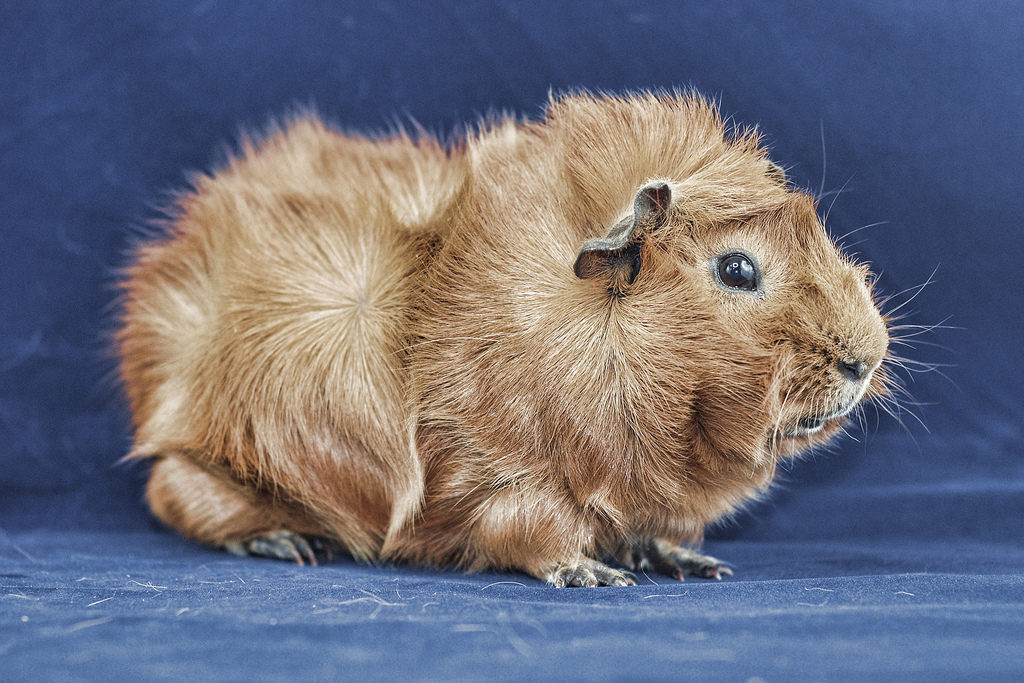Абиссинская морская свинка