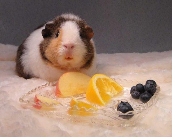 Морская свинка ягоды и фрукты
