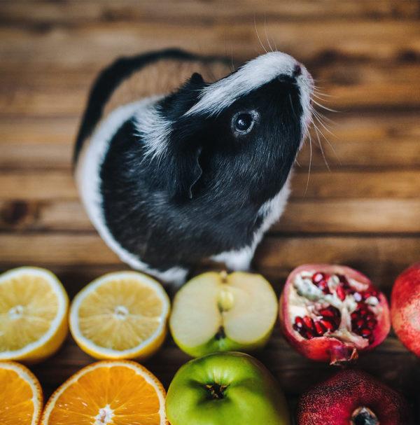 Морская свинка и фрукты