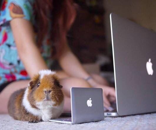 Морская свинка за ноутбуком