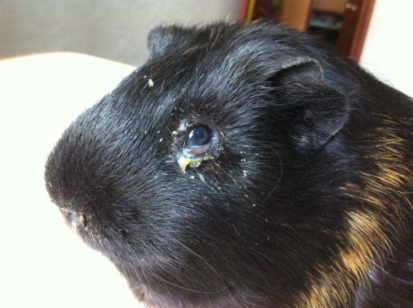 Конъюнктивит у морской свинки