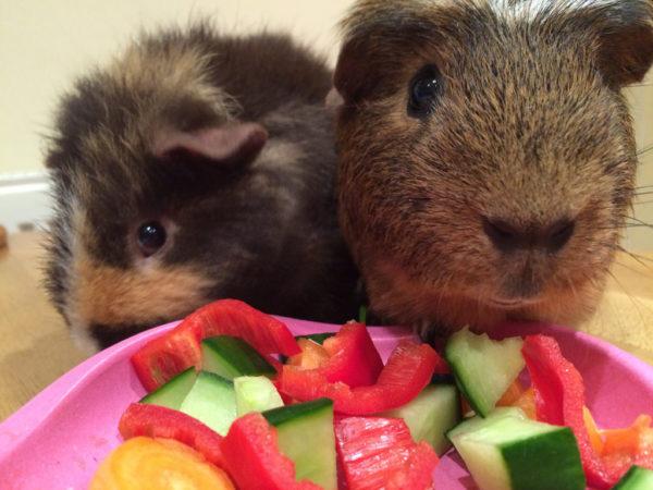 Морские свинки едят сочный корм