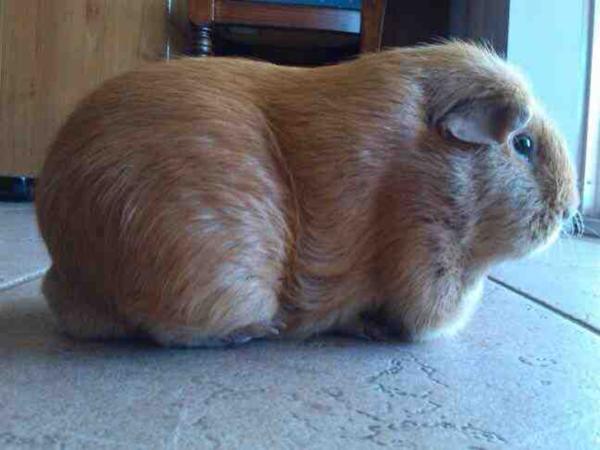 Ожирение у морской свинки