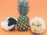 Морские свинки и ананас