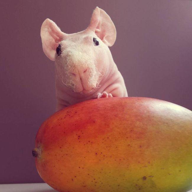 Морская свинка и манго