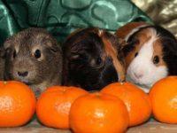 Морские свинки и мандарины