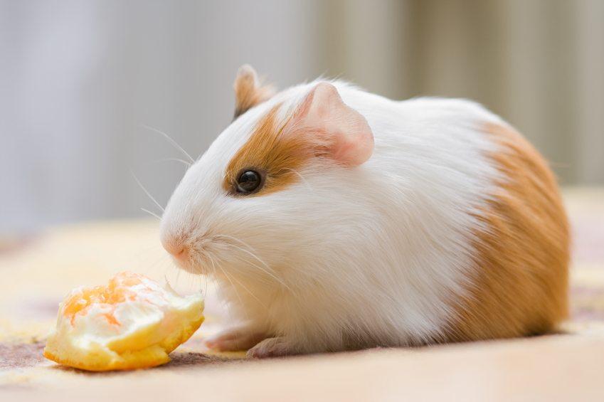 Морская свинка с апельсином