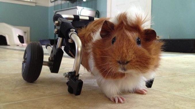 Морская свинка с парализованными лапами