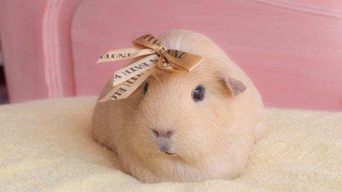 Морская свинка с ленточкой на голове