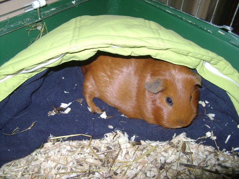 Морская свинка в укрытии