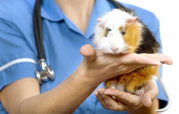 Морская свинка у ветеринара