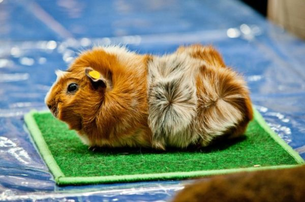 Двухцветная абиссинская морская свинка