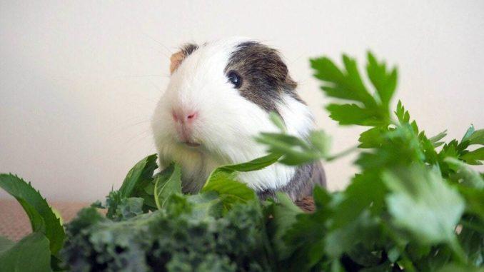Морские свинки едят траву