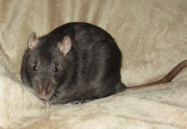Крыса с типом шерсти стандарт