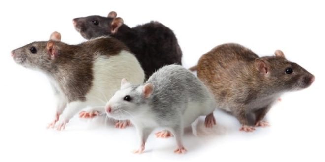 Декоративные крысы разных окрасов