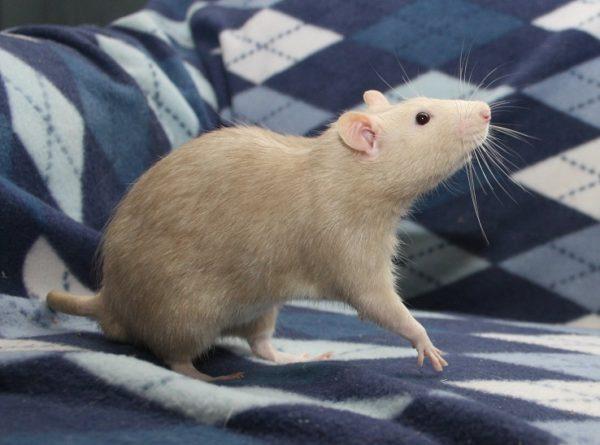 Крыса бежевого окраса