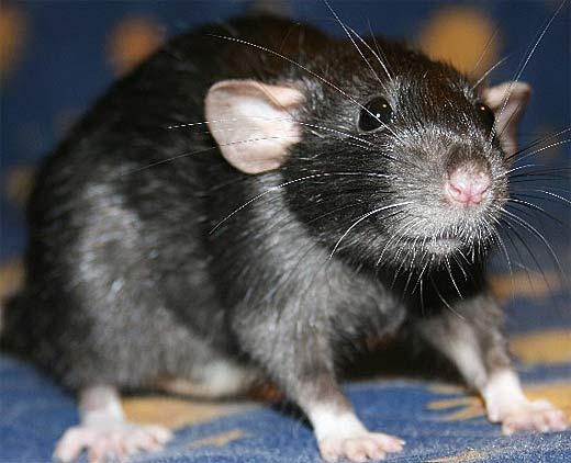 Крыса черного окраса