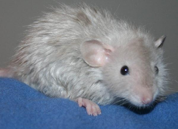 Длинношерстная крыса