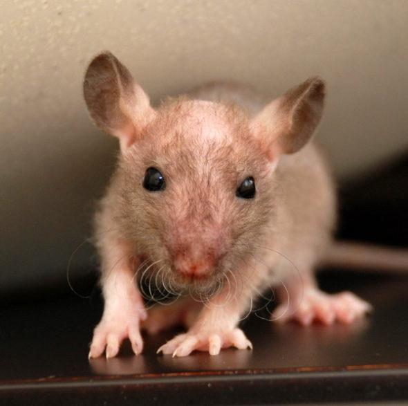 Разновидность крыс фазз