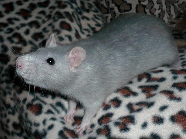 Крыса голубого окраса