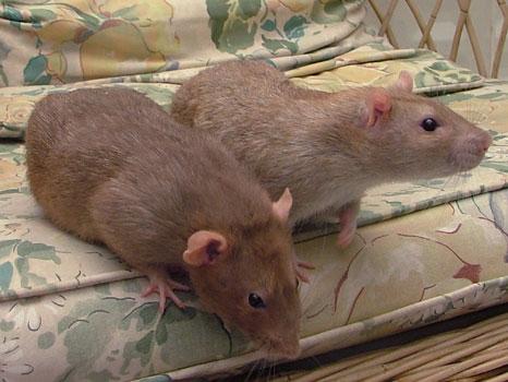 Крыса норкового окраса